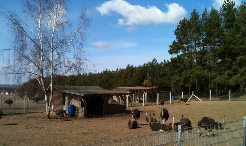 Straußenfarm_Riedersfelde_2