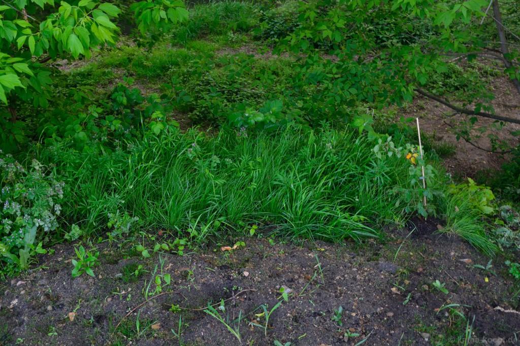 Brombeeren_im_hohen_Gras