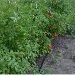 Mitte August – mal wieder ein Blick in den Garten